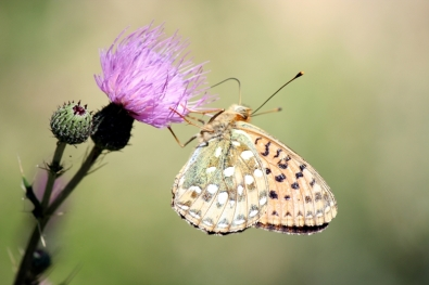 Mariposa del Pirineo